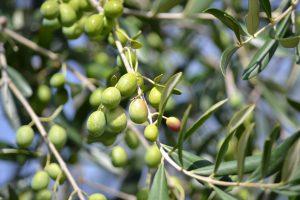 olive albero